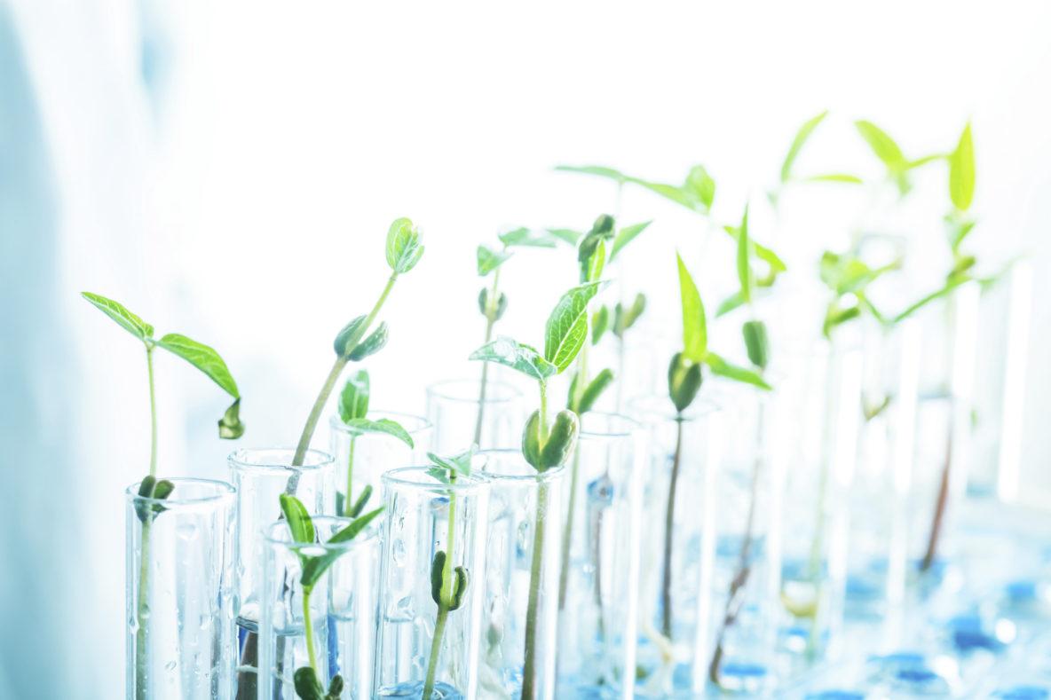plant science green bean sapling on test tubes